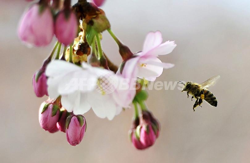 ハチ激減と関連性ある殺虫剤3種、2年間の使用禁止へ EU