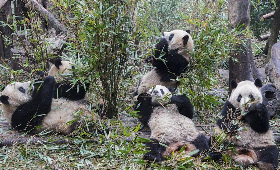 パンダ基地が一般公開を再開、2か月ぶり 中国・四川省