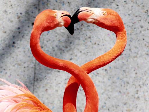 フラミンゴの「ハート」型は求愛の印、埼玉
