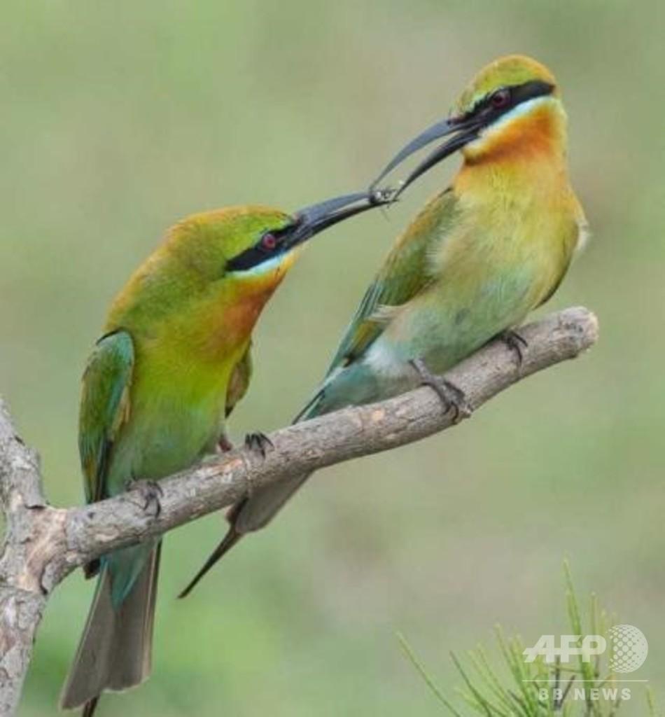「中国で最も美しい鳥」ハリオハチクイが飛来 中国・広東省