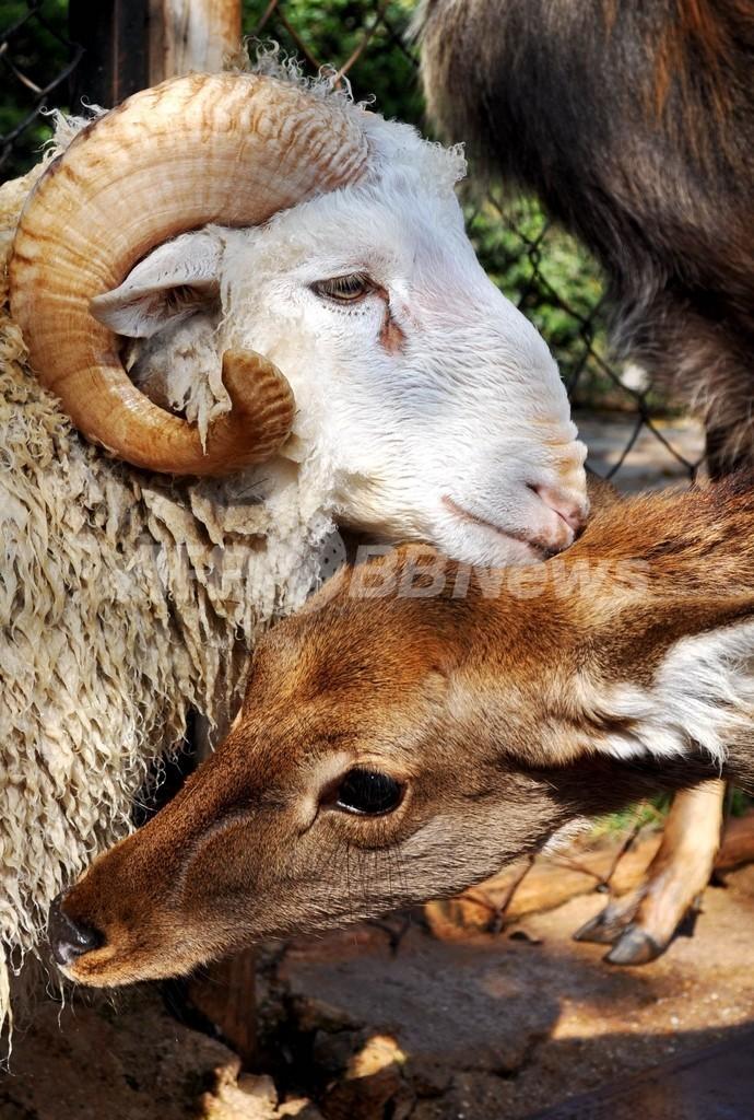 雄ヒツジと雌ジカの相思相愛?頭悩ます動物園 中国