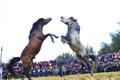 馬たちの勇壮なぶつかり合い ミャオ族伝統の闘馬祭りで新年祝う