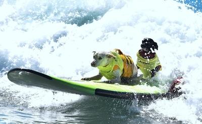 ボード操作はお手のもの、米カリフォルニアで犬のサーフィン大会