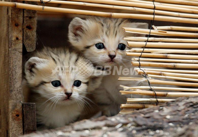 一見普通の子ネコ? 実は世界最小の珍種野生ネコ「スナネコ」の赤ちゃん