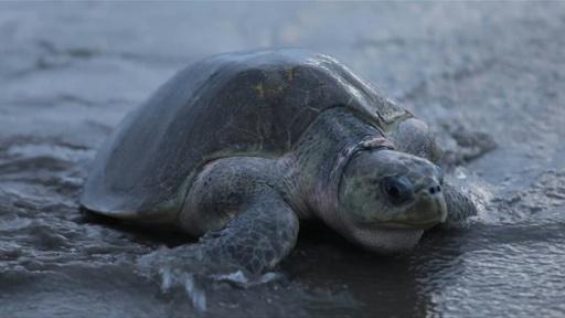 動画:産卵期迎えた絶滅危惧種のヒメウミガメ、中米ニカラグア