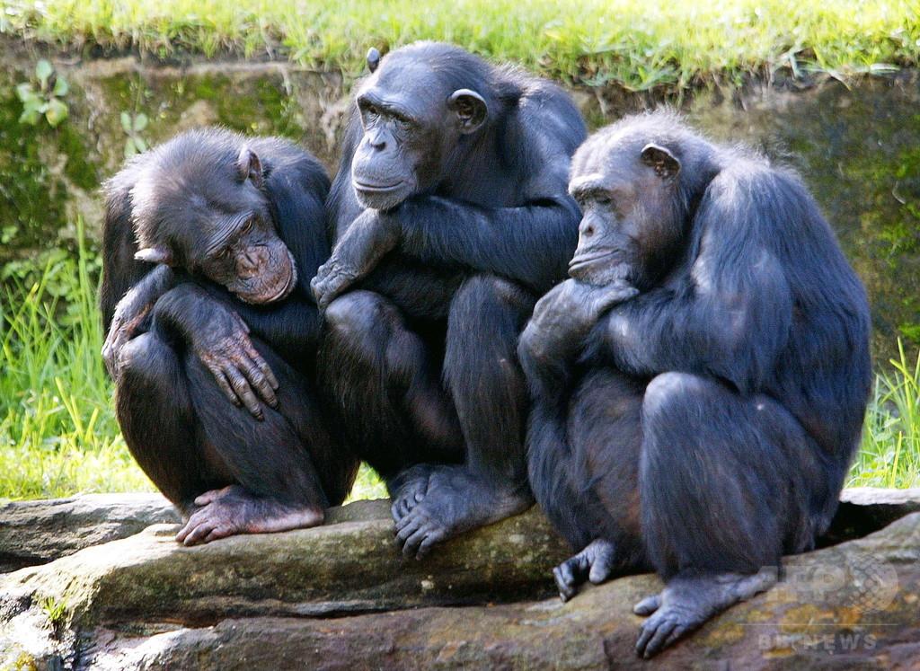 チンパンジー用いた研究を廃止、米政府機関