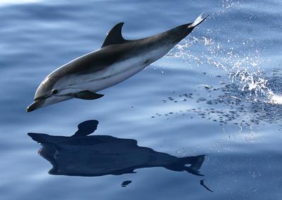 ソロモン諸島、生きたイルカをドバイに輸出 環境保護団体は反発