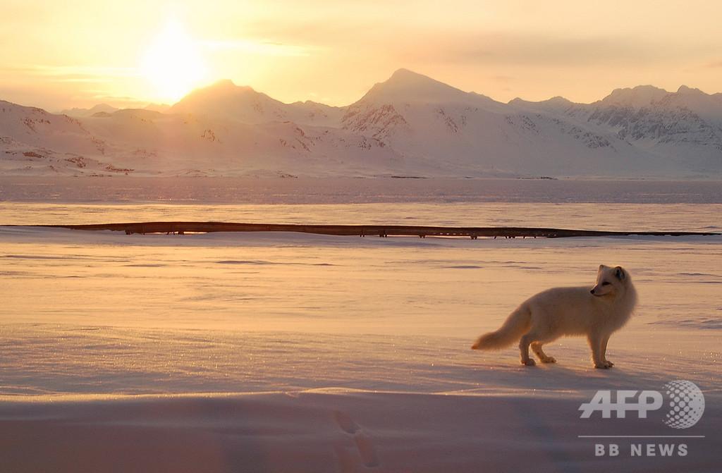雌のホッキョクギツネ、ノルウェー・カナダ間を76日で移動 調査