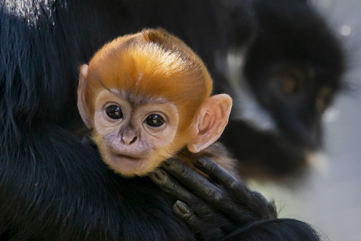 絶滅危惧種のサル「フランソワルトン」の赤ちゃん誕生 豪動物園