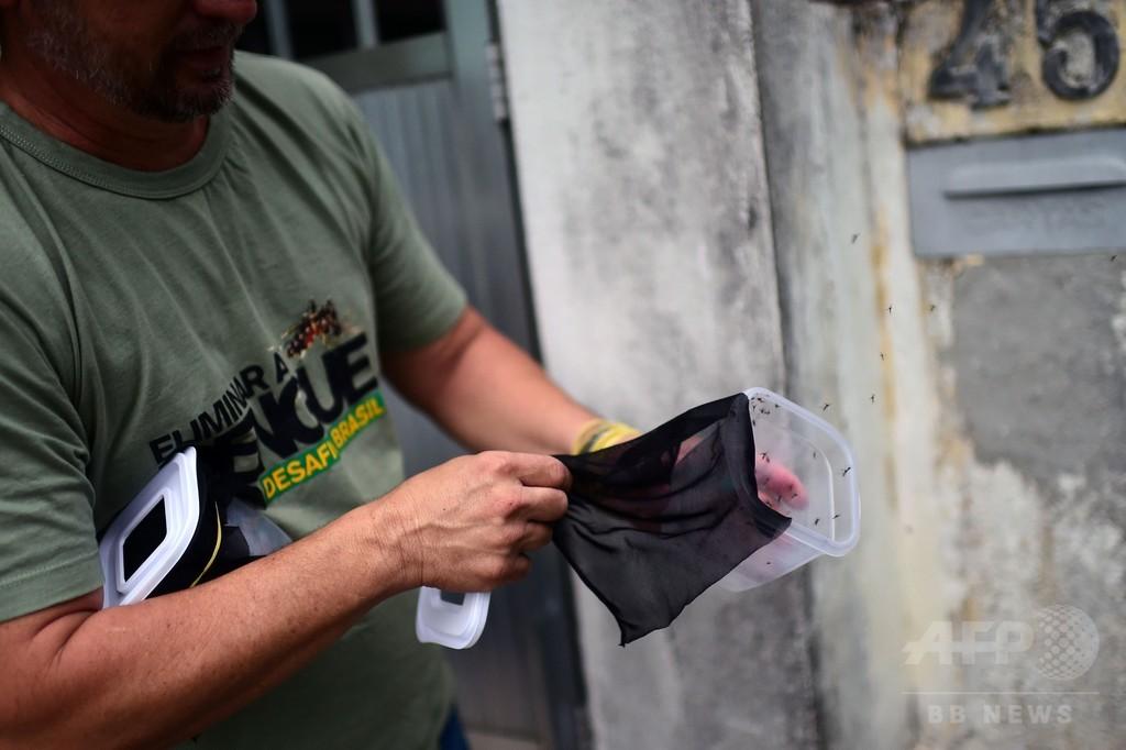 ブラジルのデング熱対策、「ワクチン接種」の蚊1万匹を放出