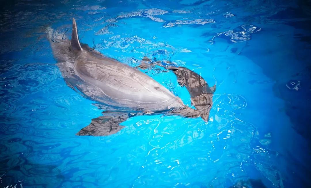 中国で人工飼育のイルカが自然分娩 華北地区で初