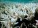 「サンゴ破壊犯」オニヒトデを1度に500匹駆除、画期的な新手法を発見