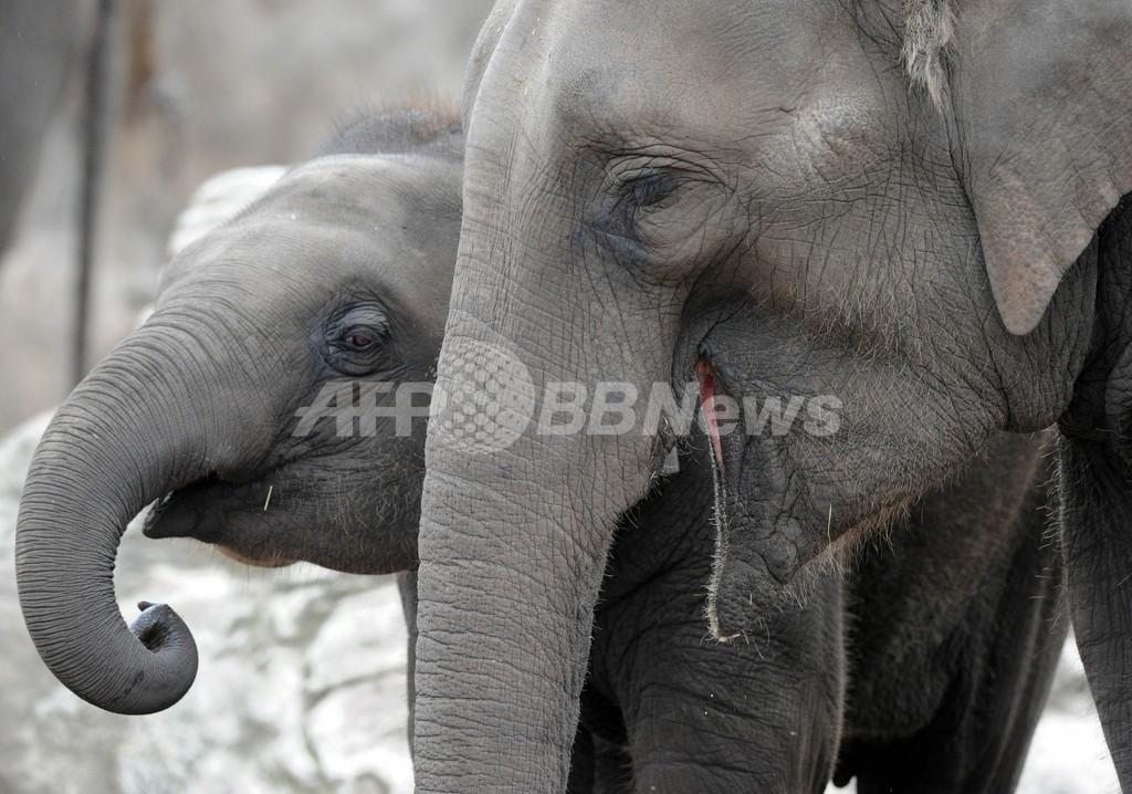 ゾウと柱の間に挟まれ飼育員が大けが、豪シドニーの動物園