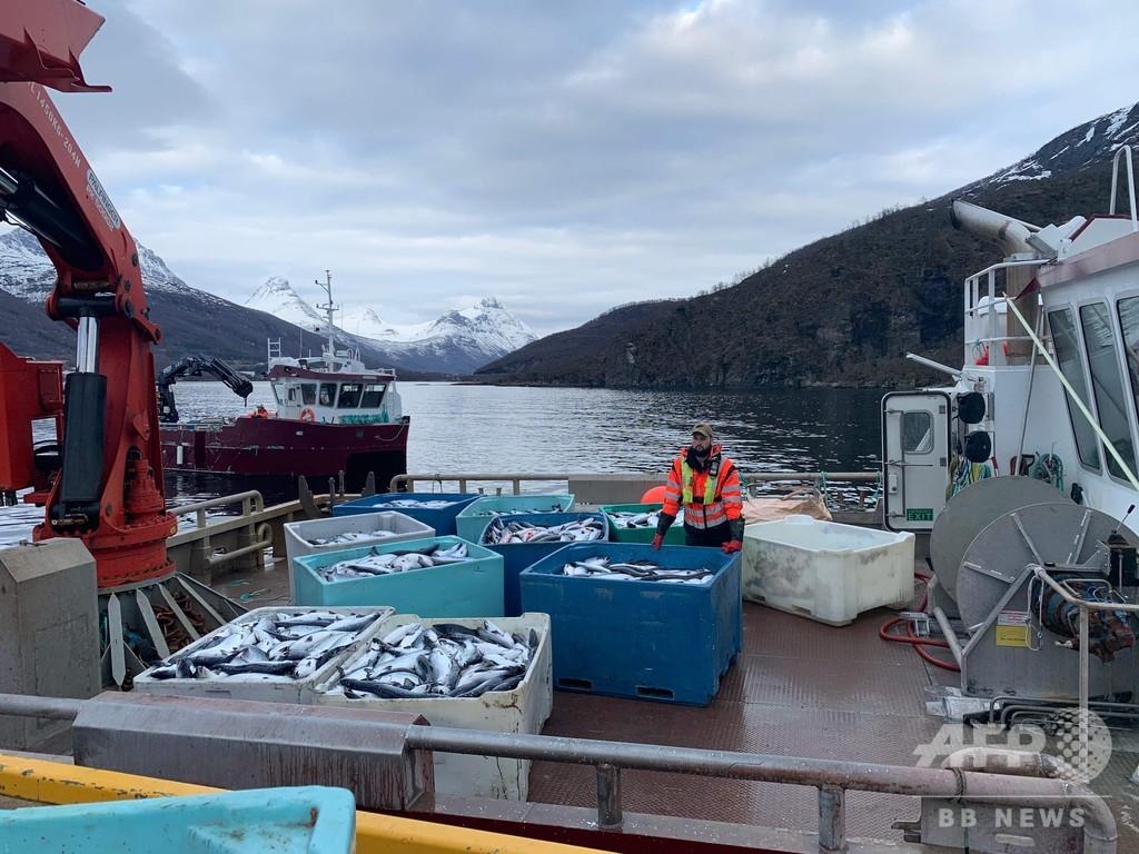 ノルウェーで養殖サケが1万トンも大量死、藻類の開花が原因