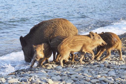 狩りでイノシシ158頭殺す、「大虐殺」と非難の声 仏