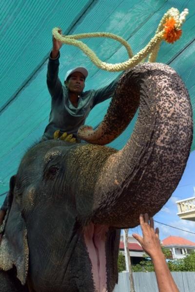 観光客乗せて30年、カンボジアのゾウが引退