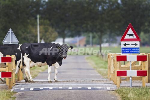 「牛の後にはもう1頭」、オランダの牛優先道路