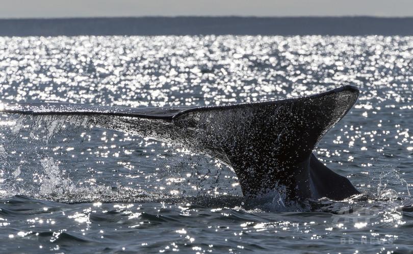 コククジラの「バーバラ」、哺乳類最長の移動距離を記録