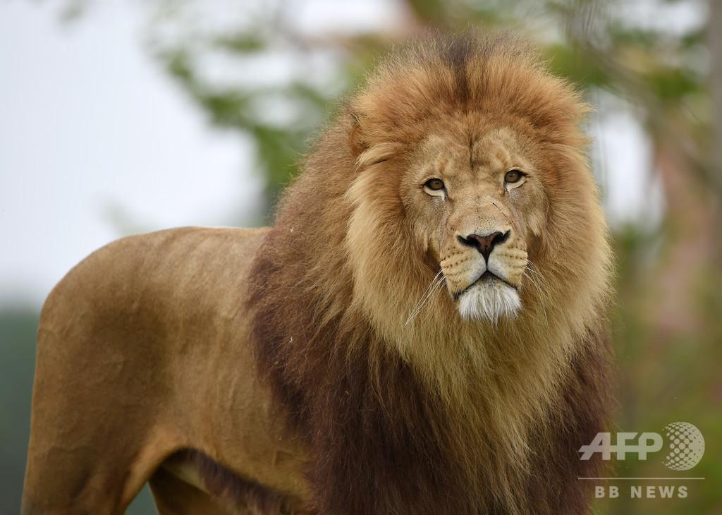 チェコ男性、無資格で飼育していたライオンに襲われ死亡