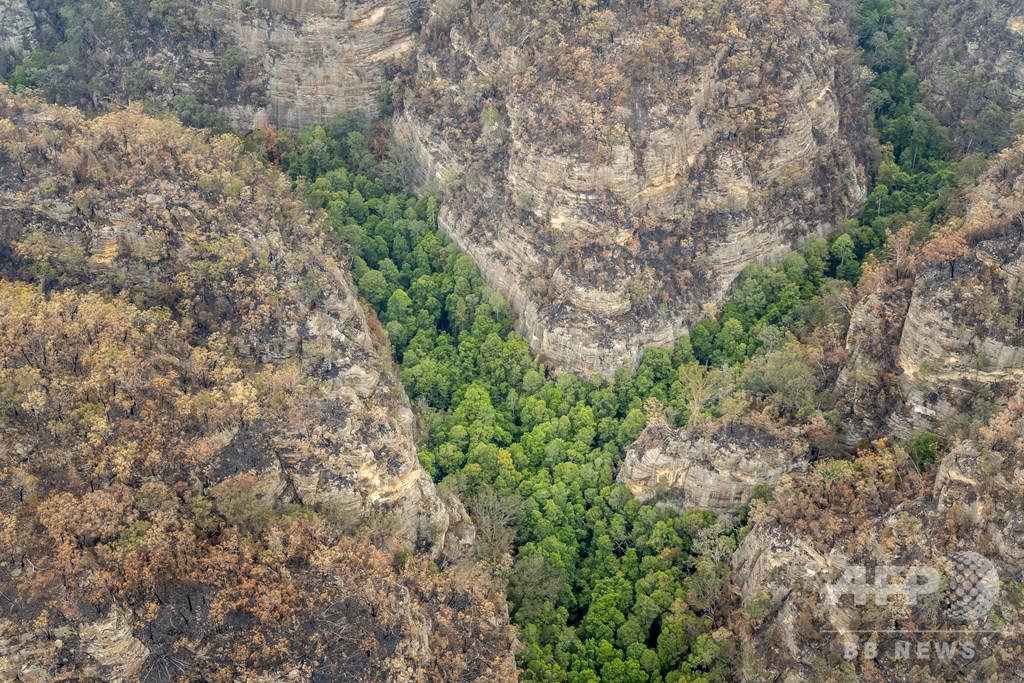 豪森林火災、極秘作戦で「恐竜の木」保護に成功 世界唯一の原生林