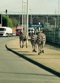 シマウマ脱走、パトカー出動の大騒ぎに ベルギー
