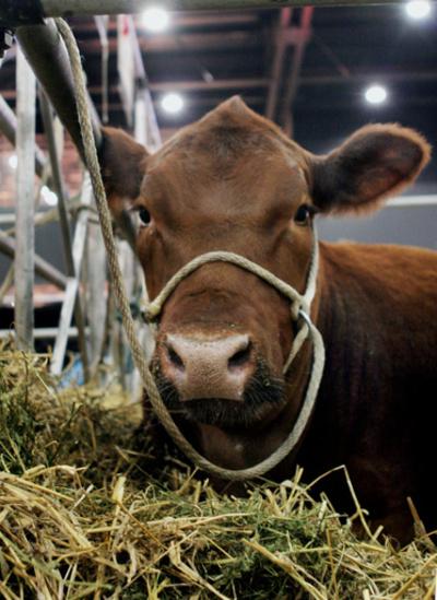 EU圏外にふらり、迷い牛に殺処分命令 飼い主が助命嘆願