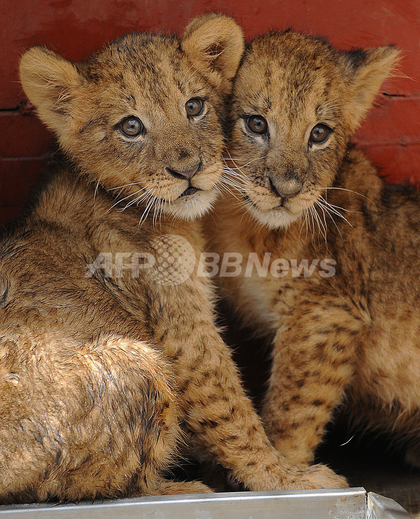母親失った双子の赤ちゃんライオン、乱開発の被害者 ケニア