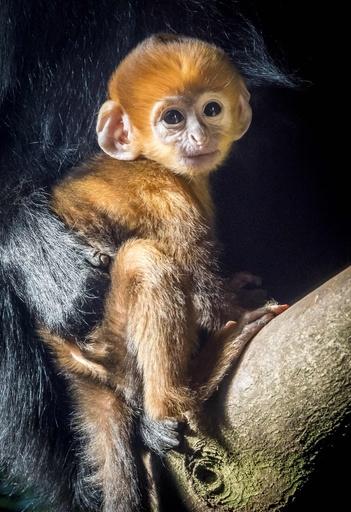 鮮やかなオレンジ色のサルの赤ちゃん、大人になると真っ黒に