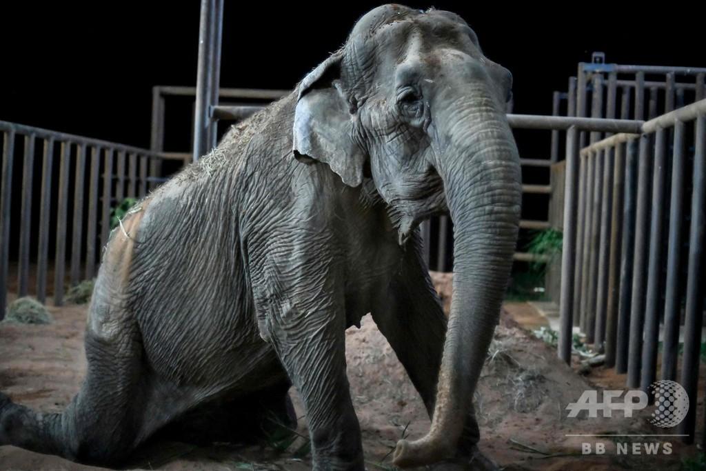 サーカスで酷使されたゾウ、ブラジルの保護区に移送 新天地で新生活