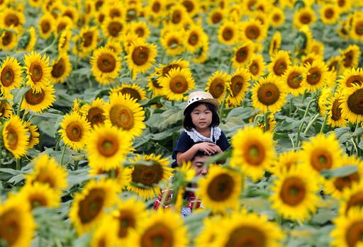 約20万本のひまわりフェスティバル、栃木県野木町