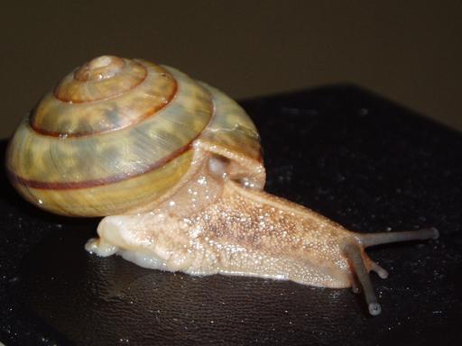 しっぽを切ってヘビから逃げるカタツムリ、沖縄で世界で初めて確認