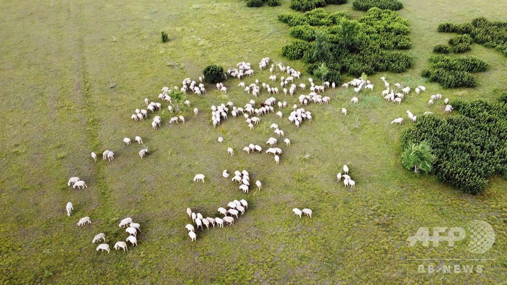 コロナ肺炎お見舞いにモンゴルから3万頭の羊届く 中国