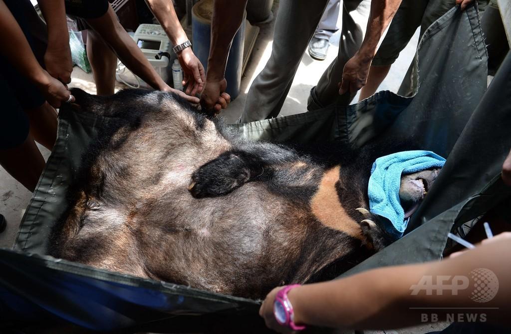 「クマ牧場」からツキノワグマ救出、胆汁採取で監禁 ベトナム