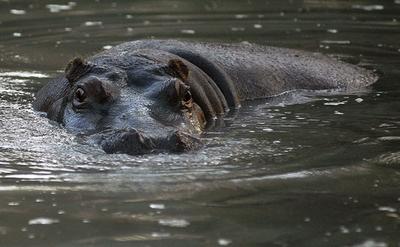 カバ、冠水した動物園から泳いで脱走 モンテネグロ
