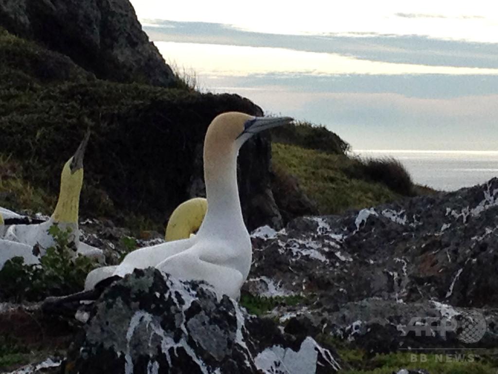 模型に恋した「世界一孤独な鳥」ナイジェル死す NZ
