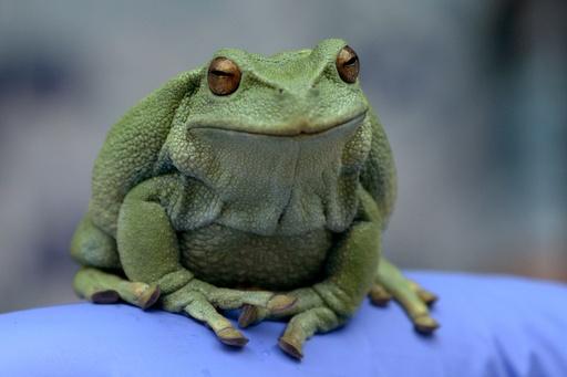 カエルを6万円超で「倫理的に」売る企業、希少種の救世主に? エクアドル