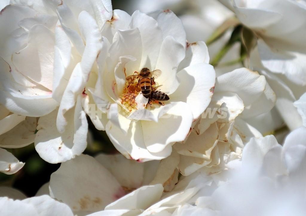 なぜミツバチが大量にいなくなったのか? フランスで国際養蜂会議