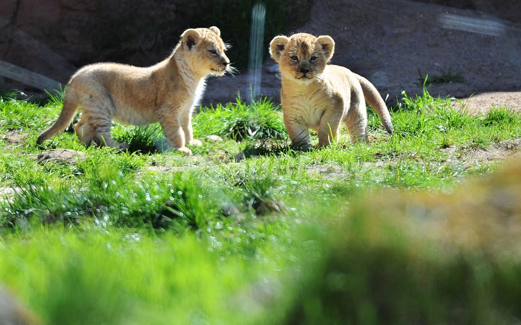 わんぱくそうな赤ちゃんライオンたち、独動物園