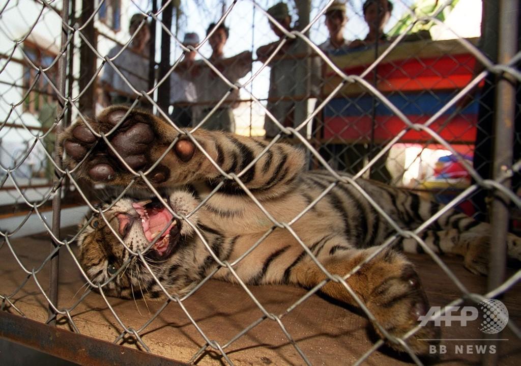 私設動物園のトラ、男性の両手をかみちぎる ベトナム