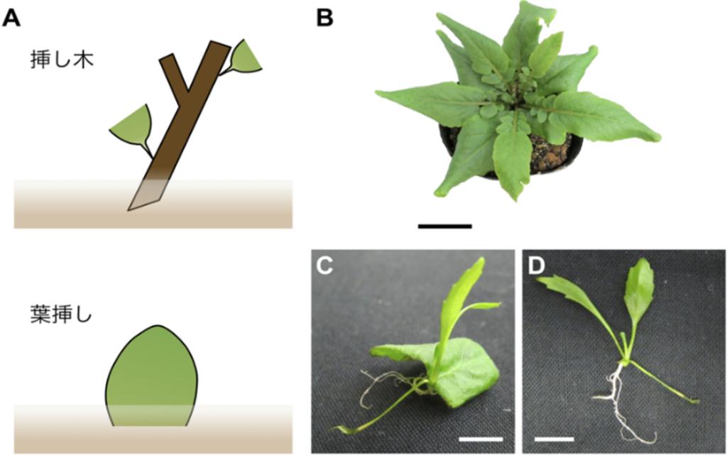 【京都産業大学】挿し木などに応用される植物の生殖方法「栄養繁殖」のメカニズムを解明 -- Plant and Cell Physiology誌に掲載