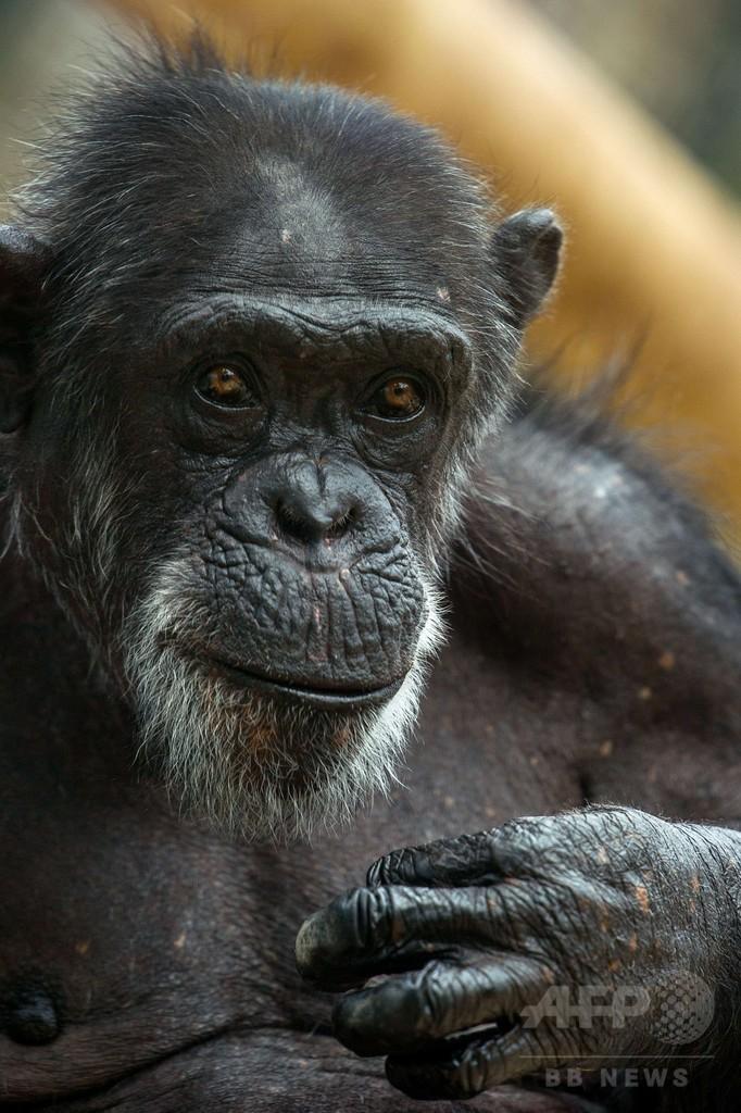 チンパンジーの「人権」申し立て、NY州控訴裁でも却下 米国