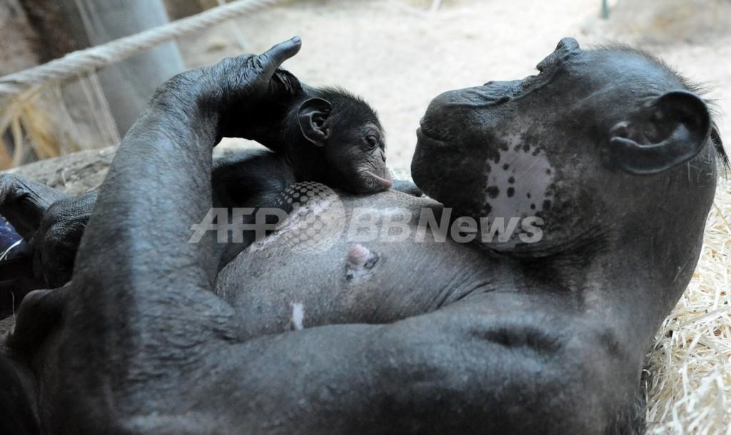 チンパンジーに自己の行為を認識する能力、京大霊長類研