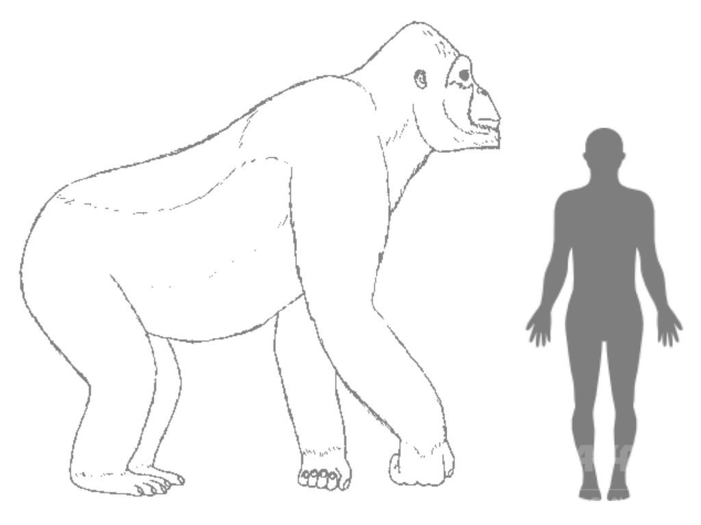 大型類人猿の絶滅、原因は「変化への不適応」か 研究