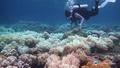 動画:白化を逃れたサンゴ礁は翌年、抵抗力が強まる グレートバリアリーフ研究