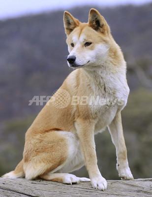 豪を象徴する犬「ディンゴ」、世界最古の犬種とDNA研究