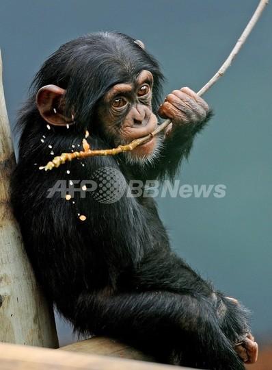 C型肝炎の新治療法、チンパンジーで有効性確認 臨床段階へ