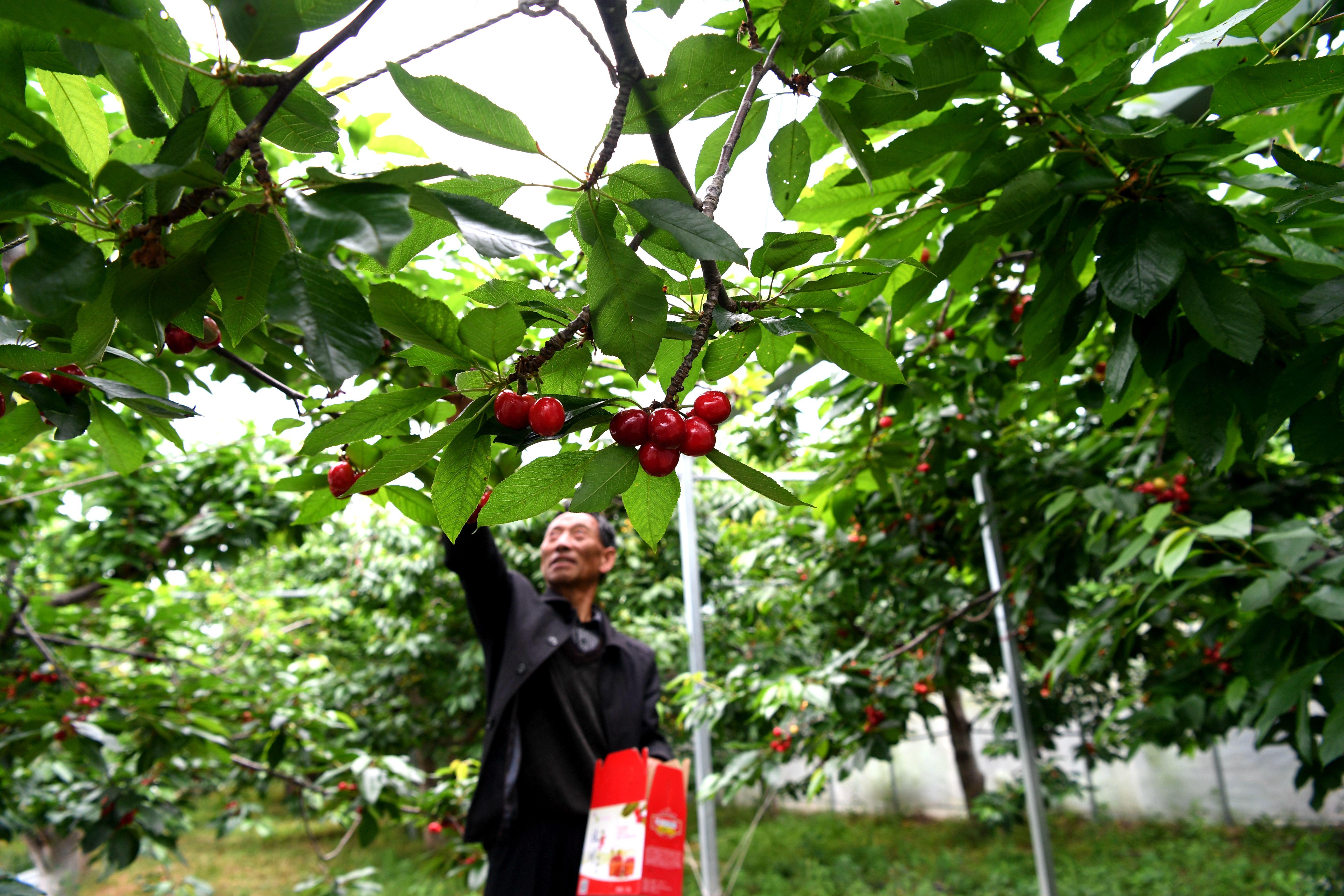 サクランボで豊かになるかつての地震被災地 四川省汶川県