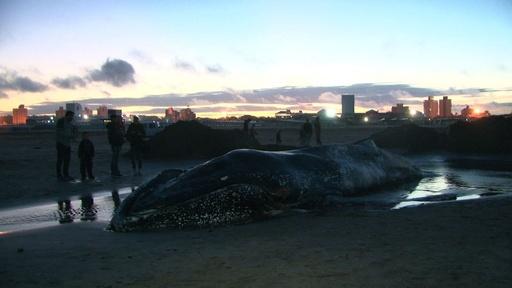 動画:ビーチに8メートルのクジラ打ち上げ、大勢が救助活動 アルゼンチン