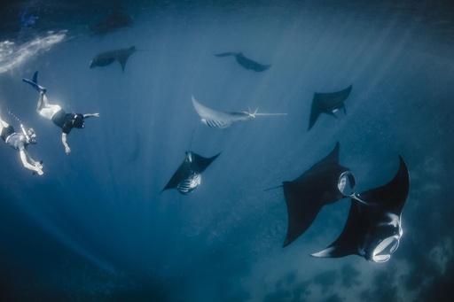 オニイトマキエイの世界最大の保護区を設定、インドネシア