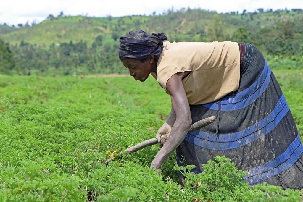 小さな土地から大きな利益を生む、ルワンダのエッセンシャルオイル